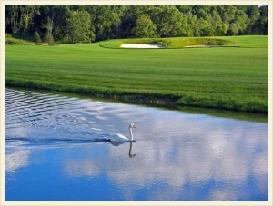 Golf course pond and swan