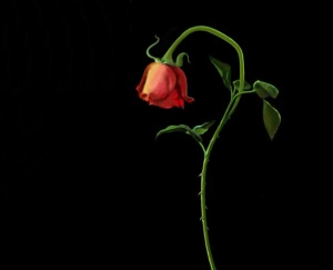 Wilting red rose